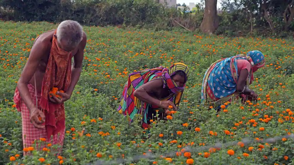 Farmers plucking marigold flowers to sell during nation-wide lockdown to curb the spread of coronavirus in the outskirts of Bhubaneswar on Wednesday.(ANI)