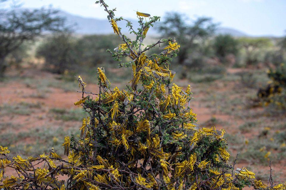 A desert locust swarm in northeastern Kenya. Credit: FAO/Sven Torfinn